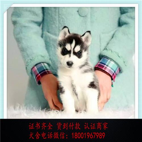 出售精品哈士奇打完疫苗证书齐全 提供养狗指导