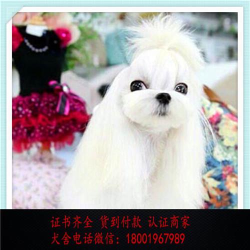 出售精品马尔济斯犬打完疫苗证书齐全 提供养狗指导