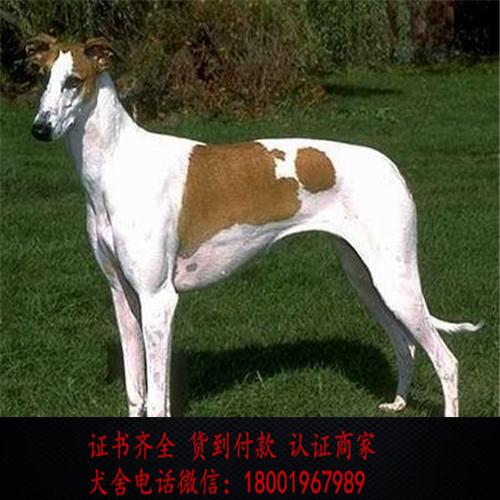 出售精品格力犬打完疫苗证书齐全 提供养狗指导