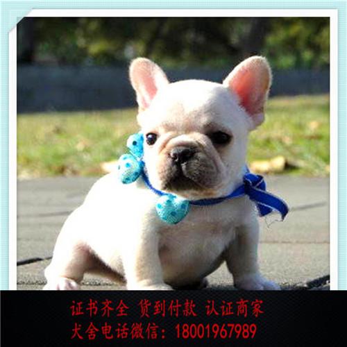 出售精品法国斗牛犬打完疫苗证书齐全 提供养狗指导