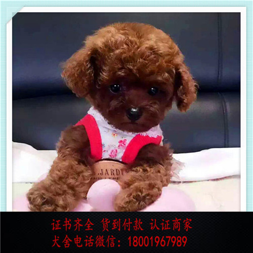 出售精品泰迪犬打完疫苗证书齐全 提供养狗指导