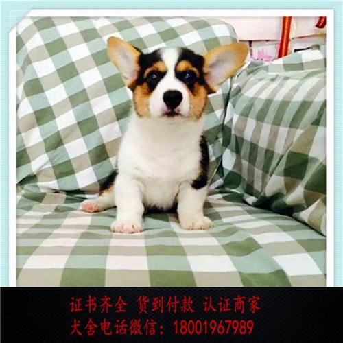 出售精品柯基犬打完疫苗证书齐全 提供养狗指导