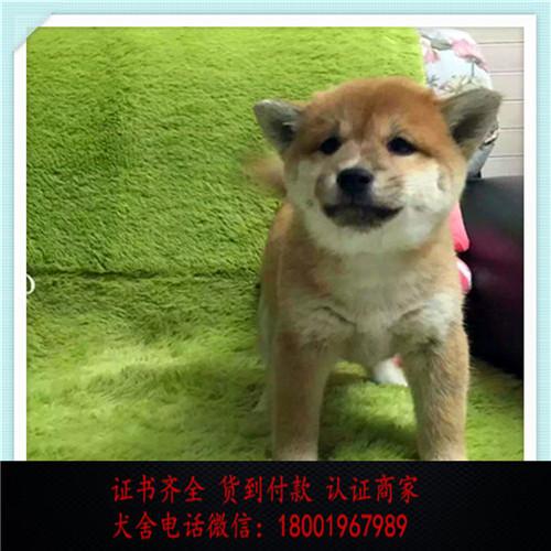 出售精品柴犬打完疫苗证书齐全 提供养狗指导