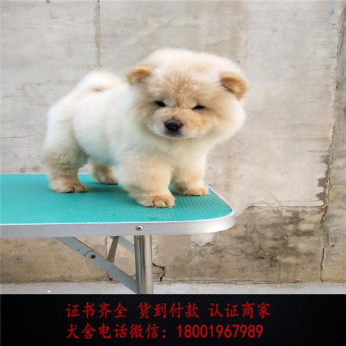出售精品松狮犬打完疫苗证书齐全 提供养狗指导