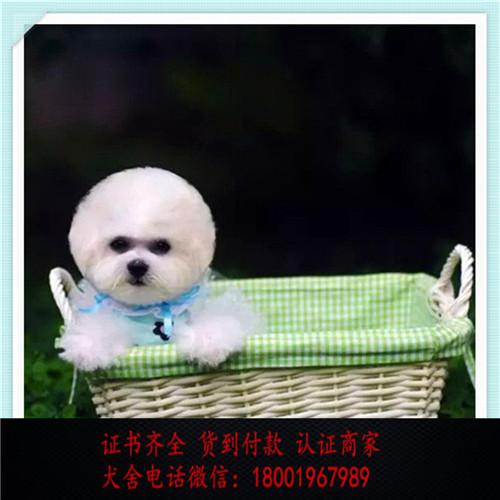 出售精品比熊犬 打完疫苗证书齐全 提供养狗指导