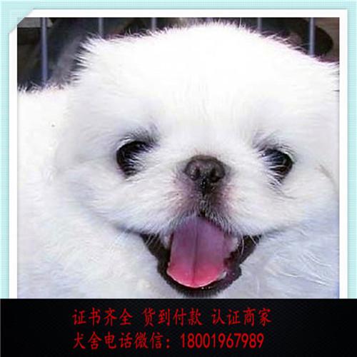 出售精品京巴狗 打完疫苗证书齐全 提供养狗指导