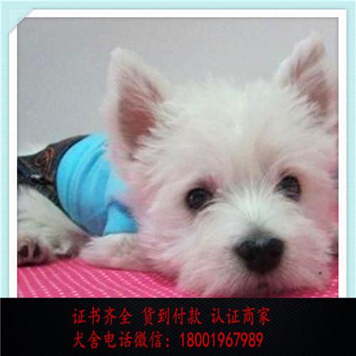出售精品西高地 打完疫苗证书齐全 提供养狗指导