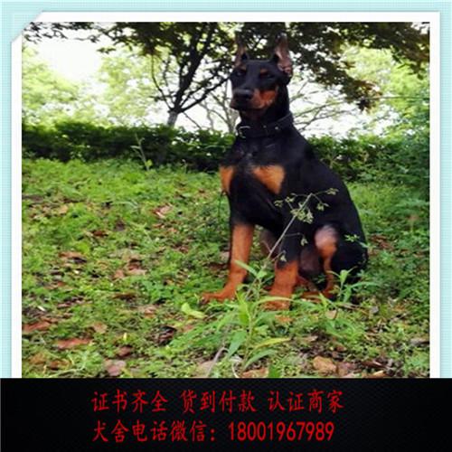 出售精品德国杜宾犬 打完疫苗证书齐全 提供养狗指导