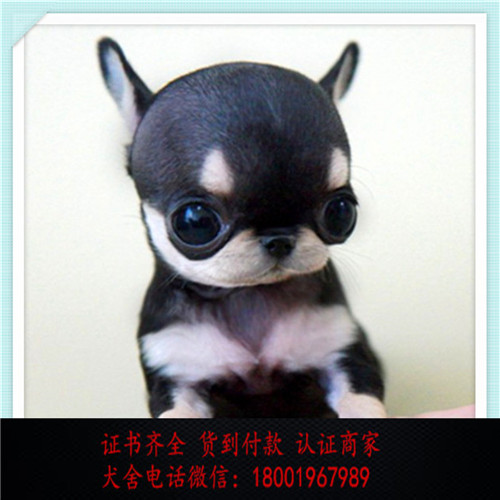 出售精品吉娃娃打完疫苗证书齐全 提供养狗指导
