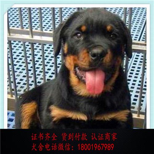 出售精品罗威纳犬打完疫苗证书齐全 提供养狗指导