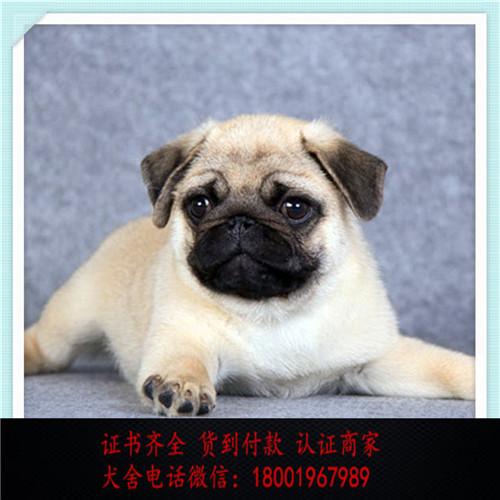 出售精品巴哥犬 打完疫苗证书齐全 提供养狗指导
