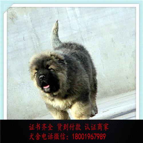 出售精品高加索犬打完疫苗证书齐全 提供养狗指导