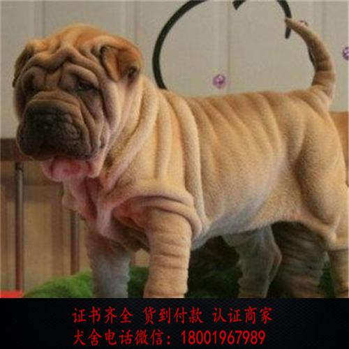 出售精品沙皮狗打完疫苗证书齐全 提供养狗指导