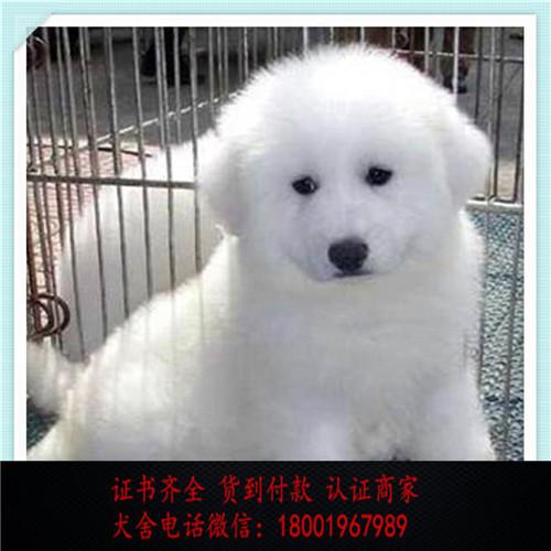 出售精品大白熊犬打完疫苗证书齐全 提供养狗指导