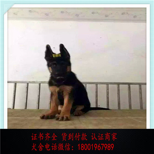 出售精品狼狗打完疫苗证书齐全 提供养狗指导