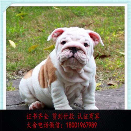 出售精品英国斗牛犬打完疫苗证书齐全 提供养狗指导