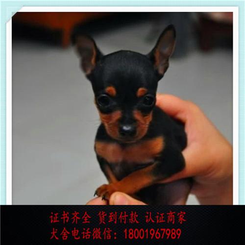 出售精品小鹿犬打完疫苗证书齐全 提供养狗指导