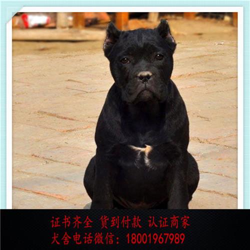 出售精品卡斯罗犬打完疫苗证书齐全 提供养狗指导