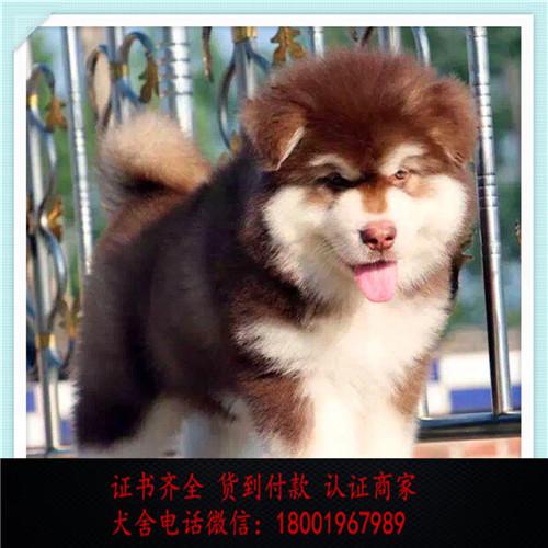 出售精品阿拉斯加 打完疫苗证书齐全 提供养狗指导