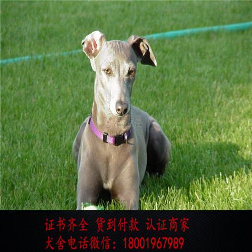 出售精品格力犬 打完疫苗证书齐全 提供养狗指导