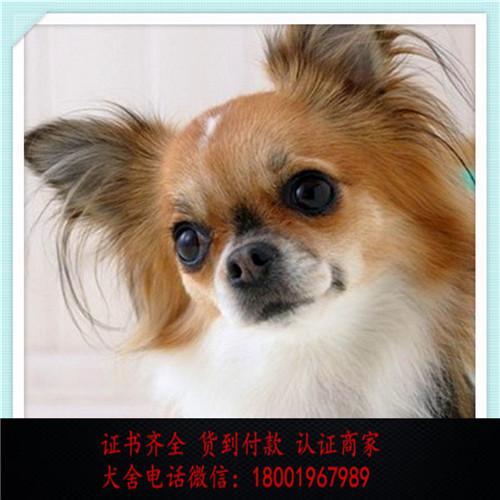 出售精品蝴蝶犬打完疫苗证书齐全 提供养狗指导