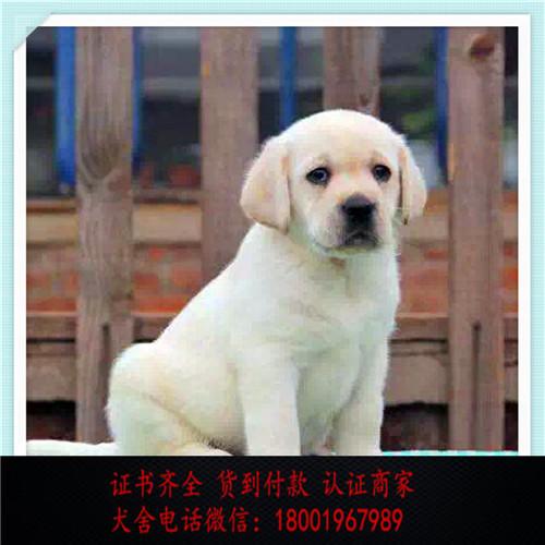 出售精品拉布拉多打完疫苗证书齐全 提供养狗指导