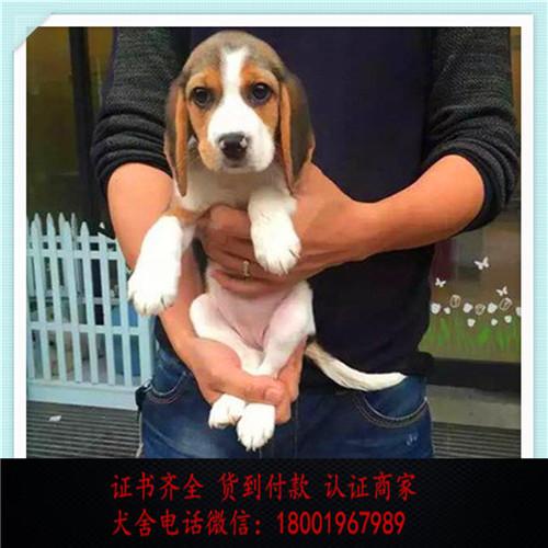 出售精品比格犬打完疫苗证书齐全 提供养狗指导