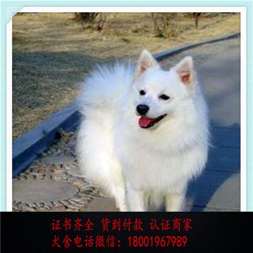 出售精品银狐犬 打完疫苗证书齐全 提供养狗指导
