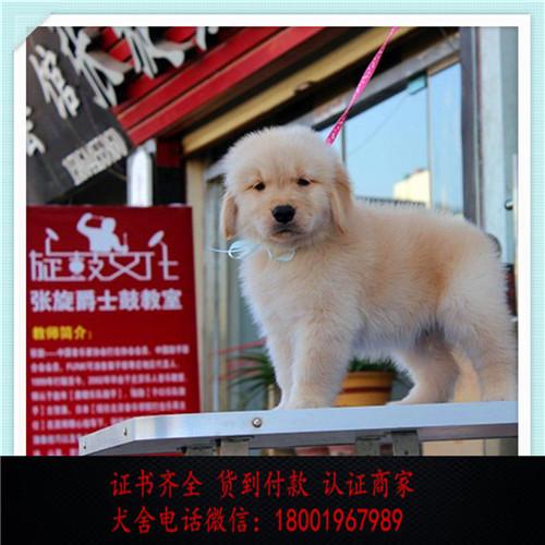 出售精品金毛打完疫苗证书齐全 提供养狗指导2