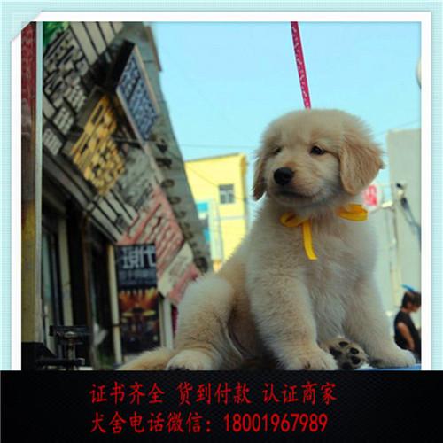 出售精品金毛打完疫苗证书齐全 提供养狗指导4
