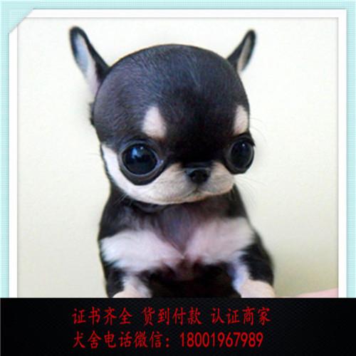 出售精品吉娃娃 打完疫苗证书齐全 提供养狗指导