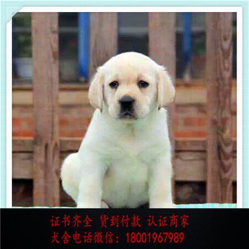 出售精品萨摩耶 打完疫苗证书齐全 提供养狗指导
