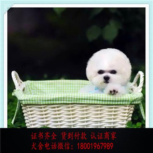 出售精品比熊 打完疫苗证书齐全 提供养狗指导