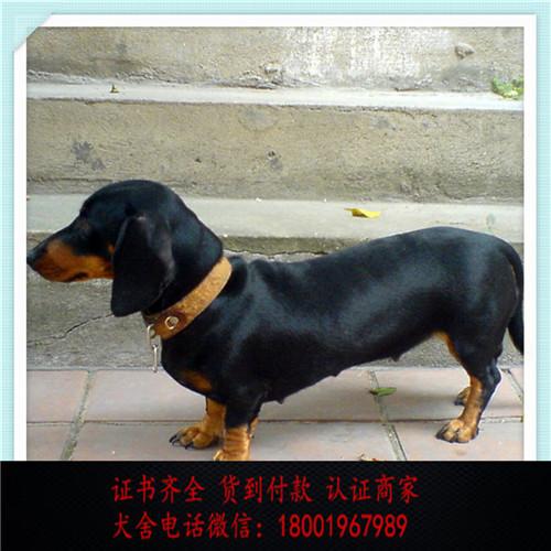 出售精品腊肠犬 打完疫苗证书齐全 提供养狗指导