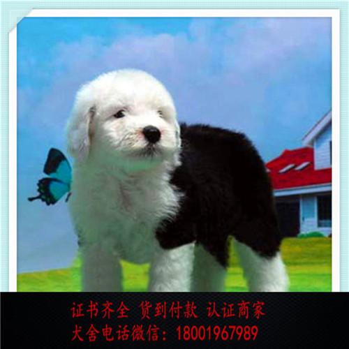 出售精品古牧犬 打完疫苗证书齐全 提供养狗指导