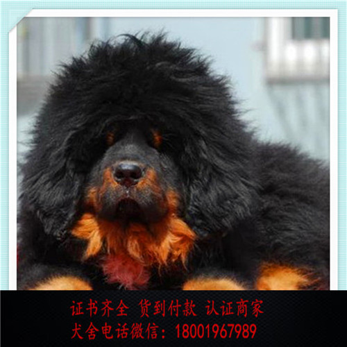 出售精品藏獒犬 打完疫苗证书齐全 提供养狗指导