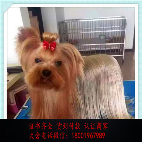 出售精品约克夏犬 打完疫苗证书齐全 提供养狗指导