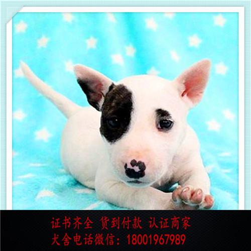 出售精品牛头梗犬 打完疫苗证书齐全 提供养狗指导