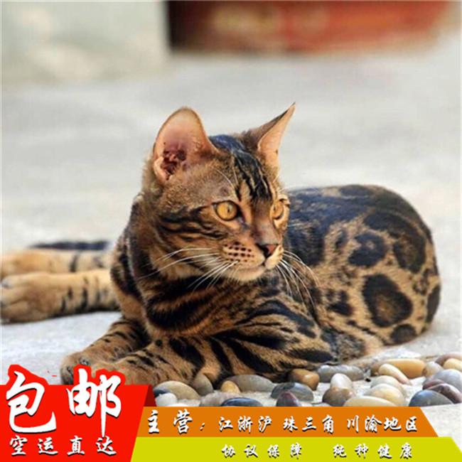 纯种孟加拉豹猫豹纹猫空心玫瑰豹猫幼猫亚洲虎斑猫金钱豹银豹活