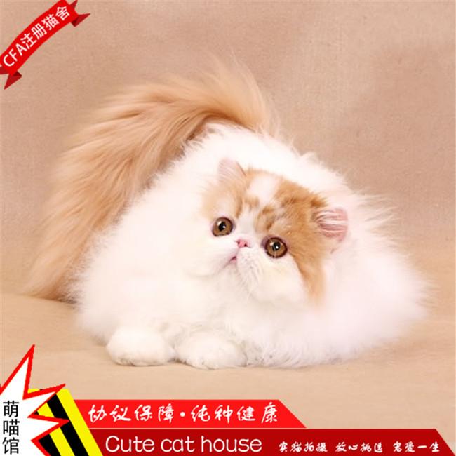 纯种加菲猫幼猫活体宠物猫纯白蓝眼预售异国短毛猫波斯猫幼崽包