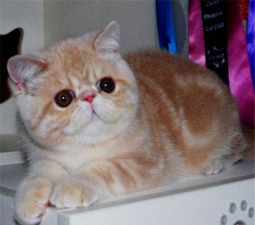 店长推荐加菲猫宠物猫咪活体幼崽幼猫纯种可爱长毛