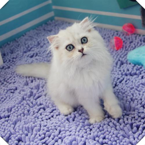 金吉拉幼猫纯种蓝眼长毛猫宠物猫活体波斯猫猫咪活体