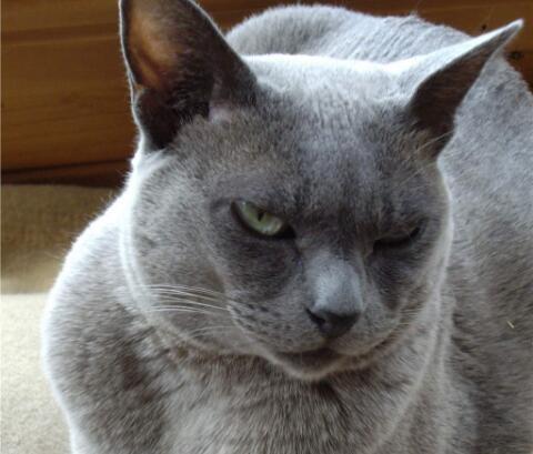 正规猫舍出售缅甸猫 正规商家 签订协议 包退换2