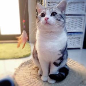 美国短毛猫活体银虎斑加白纯种活体幼猫精品美短加白短毛猫