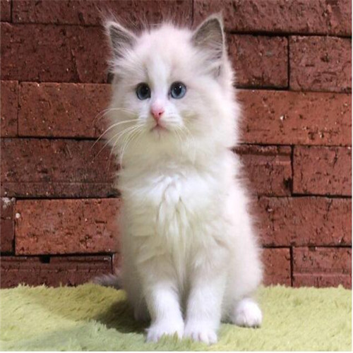 布偶猫多少钱一只 哪里有布偶猫 佛山猫舍自家繁殖 品种齐全