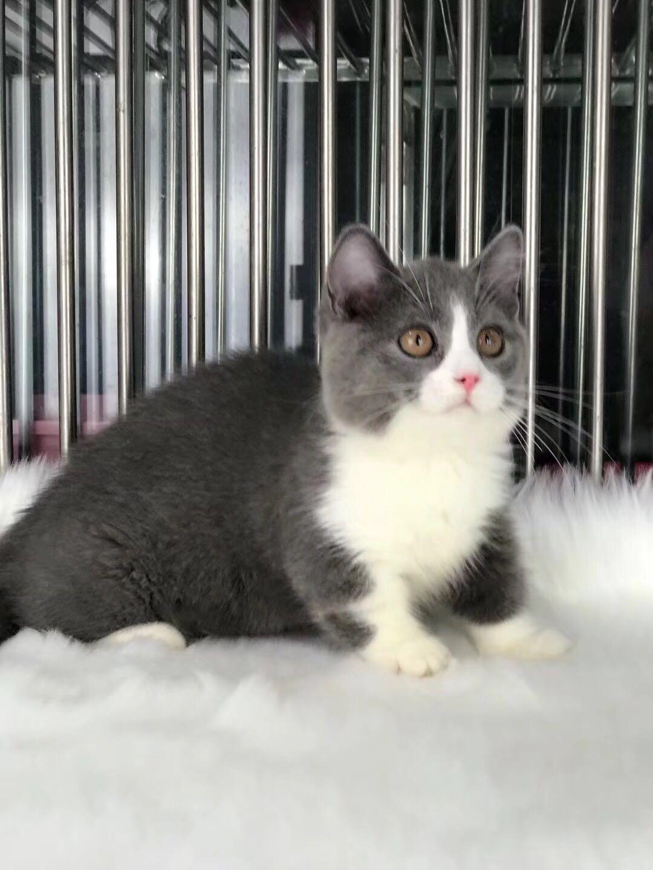 佛山正规猫舍专业繁殖 精品蓝猫 蓝白猫 包纯种健康