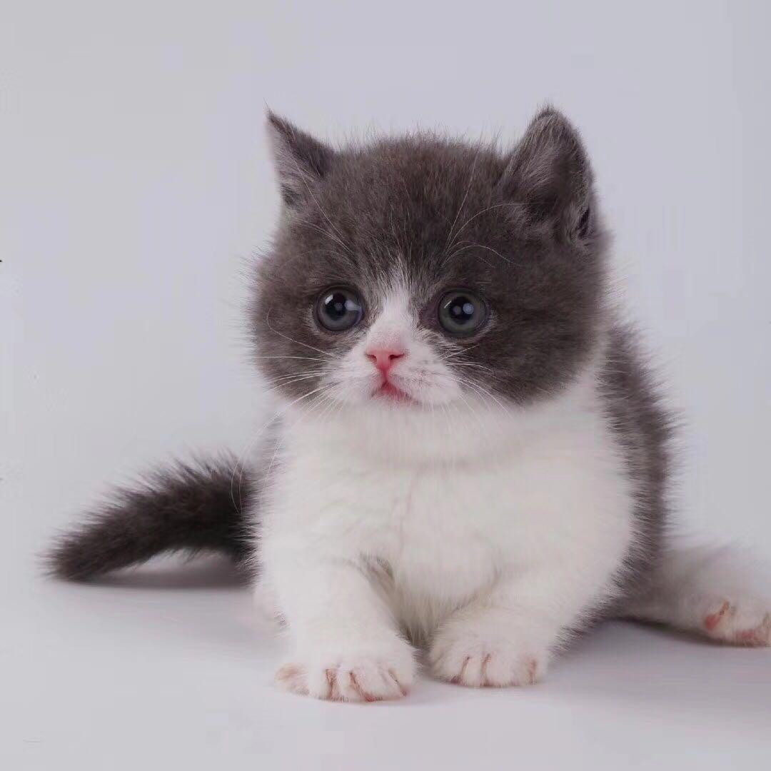 纯种曼基康矮脚猫佛山哪里有卖 自家繁殖矮脚猫 品种齐全