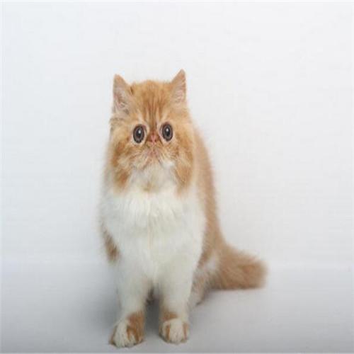 加菲猫多少钱一只 佛山本地正规猫舍繁殖纯种加菲猫包养活
