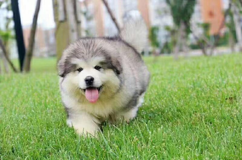 阿拉斯加 纯种 活体 雪橇犬 巨型熊犬 幼犬 大型犬1