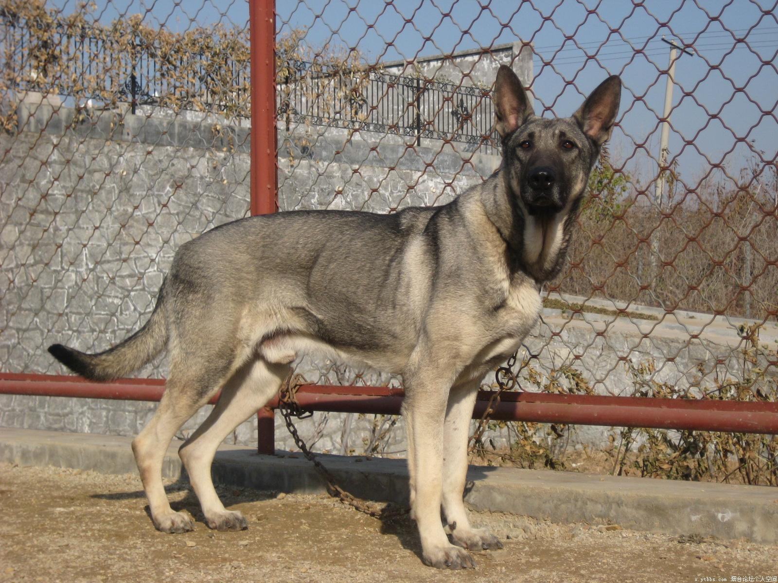 狼青犬多少钱4